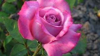 видео розы недорого