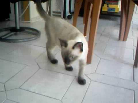 Siamese And Angora Kittens Youtube