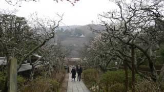 #明月院  #東慶寺 梅 鎌倉市 #神奈川 観光一日目6 Japan Kamakura temple Tokeiji  Kanagawa
