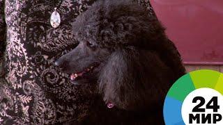 Танцующий пудель: в Молдове учитель проводит уроки со своей собакой - МИР 24