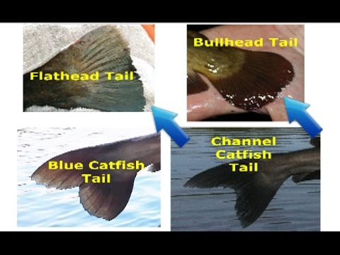 How to identify catfish - flathead, blue, channel, white catfish, bullhead and other species