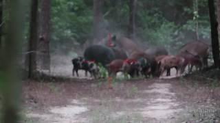 Охота на кабанов в Техасе с ATN X-Sight II HD | один выстрел - одно попадание