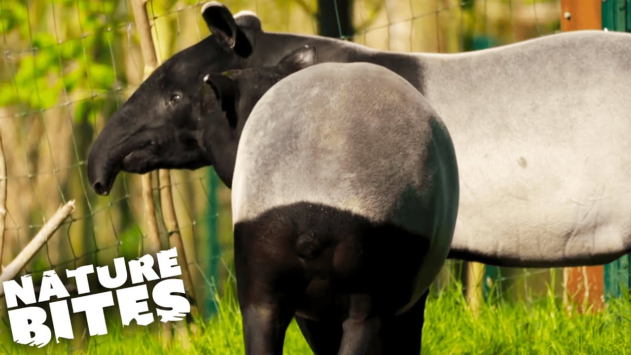 Download Malayan Tapirs Struggle to Mate   The Secret Life of the Zoo   Nature Bites