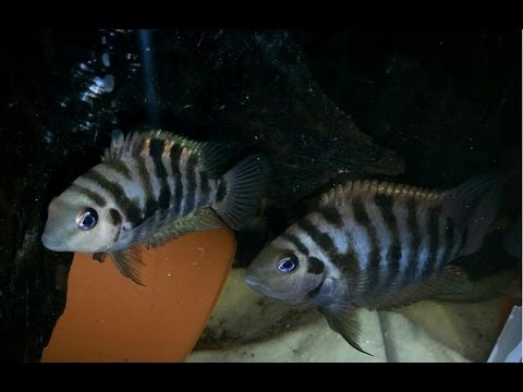Watch Download How To Sex Cichlids Full Online: http://tvstreamtimes.co/stream/how-to-sex-cichlids