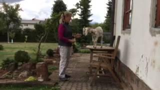 Výcvik imigrantky kozy marocké