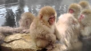 Cheeky Baby Snow Monkeys steals straw from fellow monkey - Jigokudani, Shigakogen, Japan