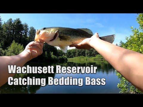 Catching Bedding Bass At Wachusett Reservoir, MA