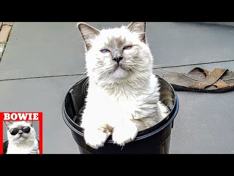 Grown Ragdoll Kitten's Bucket Misjudgement. So Funny!
