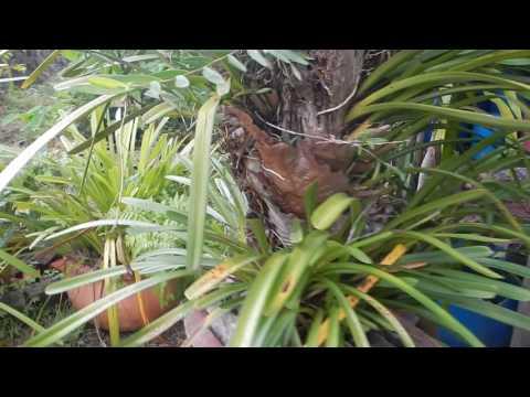 Hoa lan Kiếm vàng rừng
