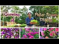 Learn How to make Seedlings of Aster Flower Plant.