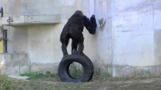 東山動植物園のニシローランドゴリラ。 タイヤを台にして、壁を舐めてい...