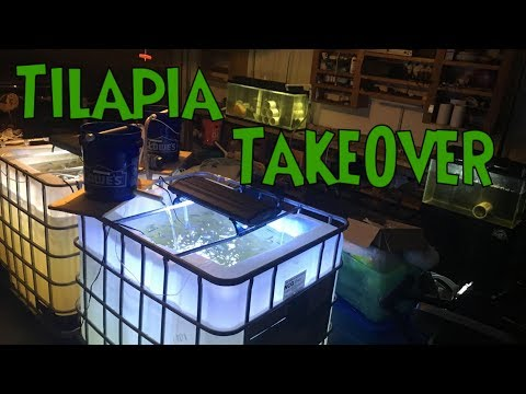 BREEDING TILAPIA In Aquarium - Tilapia Breeding Project Inspiration, Setup And FAILURE