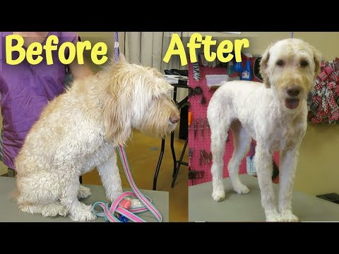 take-off-all-the-face-hair-on-my-goldendoodle