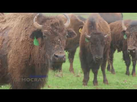 Tour Of The Readington River Buffalo Farm