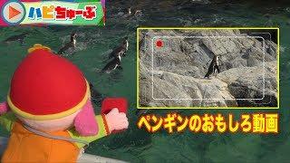 「ハピちゅーぶ」ペンギンのおもしろ動画 おもしろ動画を集めるハピちゅ...