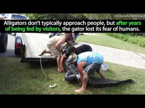 Record Breaking Gator Caught in Texas