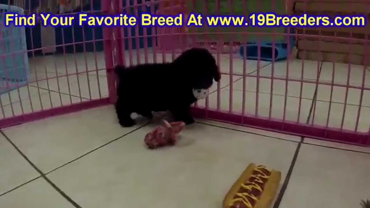 Toy Poodle Puppies For Sale In Baton Rouge Louisiana