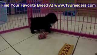 Toy Poodle, Puppies, For, Sale, In, Baton Rouge, Louisiana, LA, Minden, West Monroe, Luling, Crowley