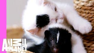 Skunk vs. Kitten De-Cat-Lon: Who Will Out-Cute Who? thumbnail