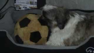 Shih Tzu Tobi - Sleepy Tobi Sucks On His Fluffy Toy -  Lullaby Baby Music