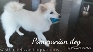 Pomeranian dog review in Tamil by Sastha Pets and Aquarium.