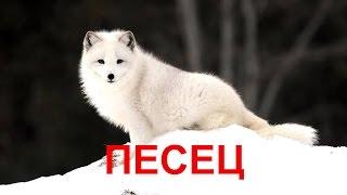 Песец— хищное млекопитающее семейства псовых, единственный представитель рода песцов