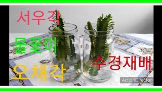 선인장과식물 적심해서 수경재배 (서우각,오채각,용과) …