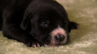 Lab Mix Puppies   Too Cute!