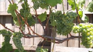 Training grape vines.From Beginning To Canopy.pt6 - Stafaband