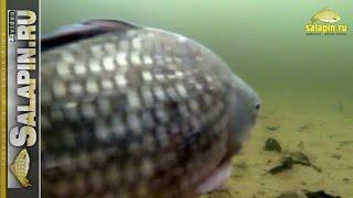 Что творится под водой в бесклевье. Подводное видео. [salapinru](В один погожий денек сидел я над лункой. Не клевало. Я опустил под воду камеру и увидел там такое... :) Подписы..., 2016-01-19T09:28:53.000Z)