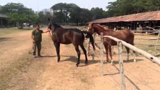 การแสดงอาการเป็นสัดของม้า