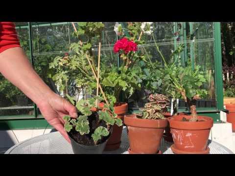 Pelargoner 5 knep från pelargonproffsen för att få vackert blommande pelargoner