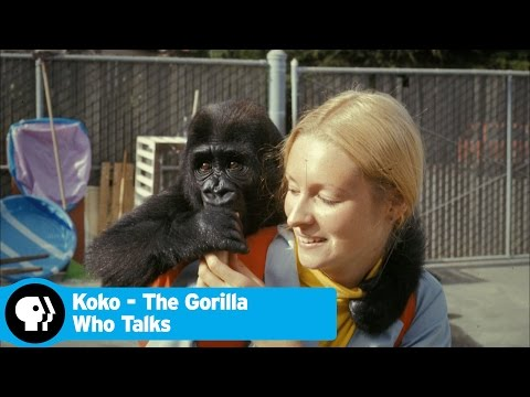 KOKO - THE GORILLA WHO TALKS | Koko & Penny | PBS KOKO - THE GORILLA WHO TALKS premieres Wednesday, Au