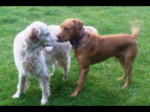 Bernie Labrador & Otis English Setter.