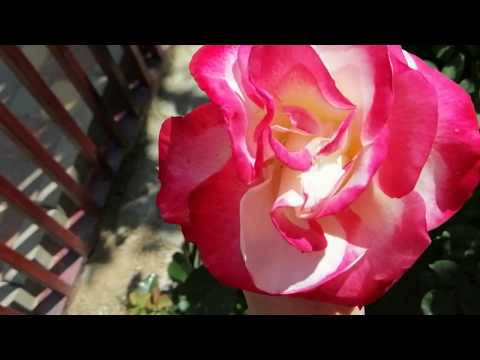 Преображение роз в цвету окраска раскрытие: барок, волцтайм, дабл делайт