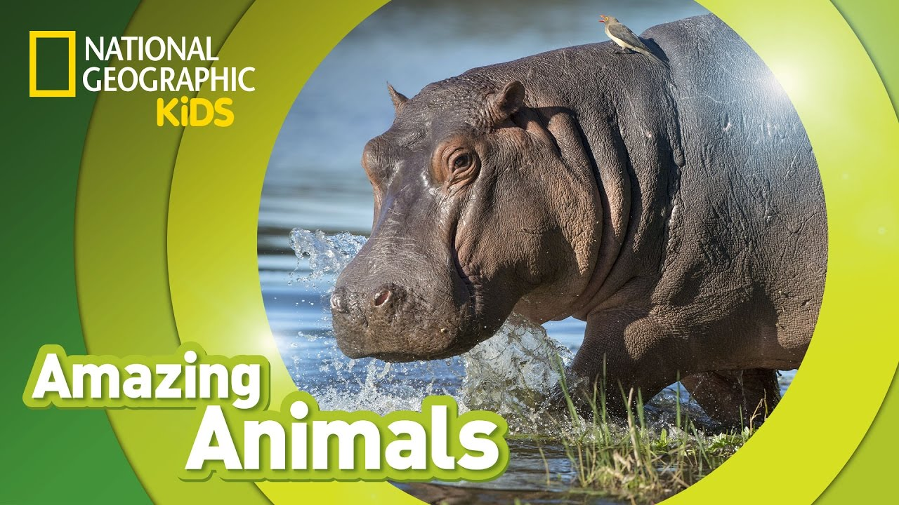 Hippos,Do you Know Hippos, a kids fact and picture book