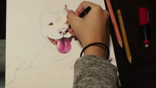 Pitbull drawing (timelapse)