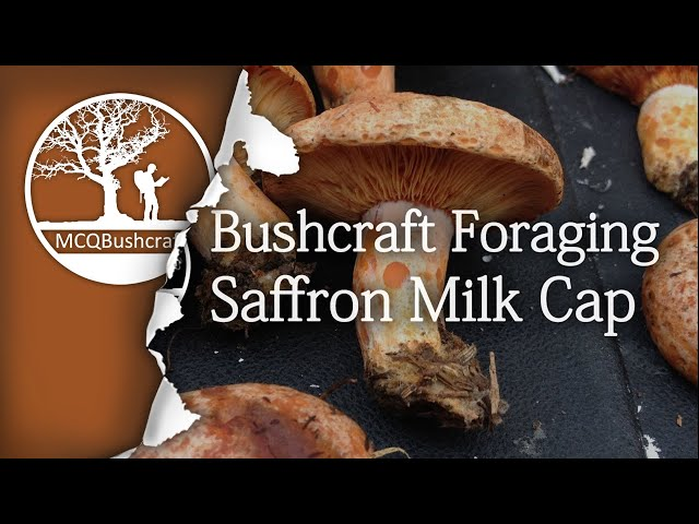 Bushcraft Foraging Mushrooms: Saffron Milk Cap