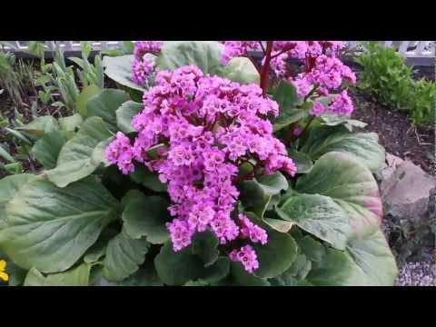 Spring Perennials Series: Bergenia And Caltha