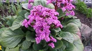 Spring Perennials Series: Bergenia and Caltha
