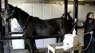 Cleaning out Mares bowels to see if she s ovulating.(Sonogram)