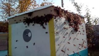 НАПАД ПЧЕЛ. КАК НЕ ДОПУСТИТЬ? что делать?  Напад (воровство ) пчёл