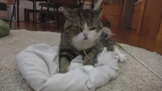 おもちゃを咥えるとふみふみが止まらないねこ3。-When Maru has a toy in his mouth, he cannot help kneading3.-