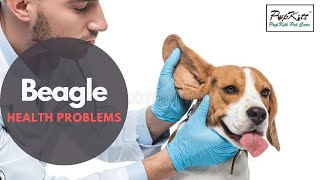 Ear Infection In Beagle? Top 6 Health Problems Of Beagle Breed | Pupkitt Pet Care