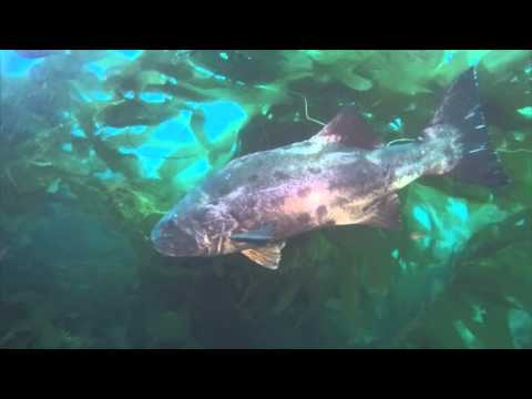 Diving with a Giant Black Sea Bass in Catalina - YouTube