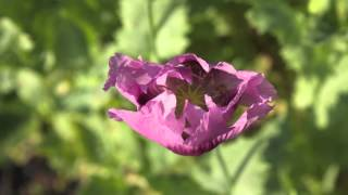 Sweet Lullaby - Papaver Somniferum