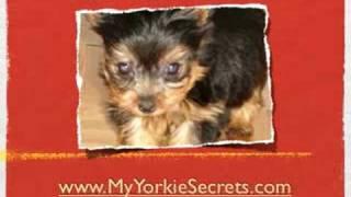Understanding Kennel Cough In Your Yorkshire Terrier