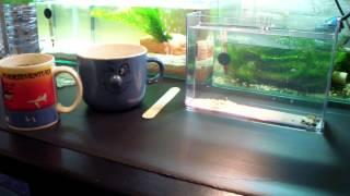 Triops cancriformis  - Teil 1, Die Aufzucht - HD Video