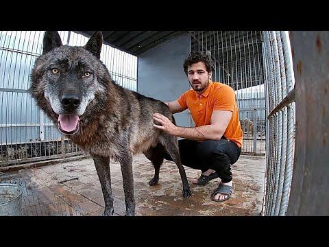 ВОЛК зимой и летом не одним цветом. Канадский волк АКЕЛА сбрасывает шерсть
