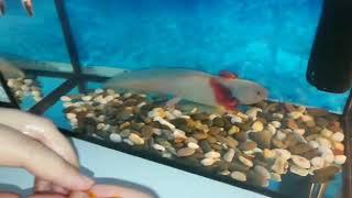 Как есть рыбу аксолотль часть1